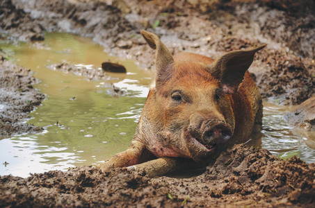 Happy dirty pig in the mud