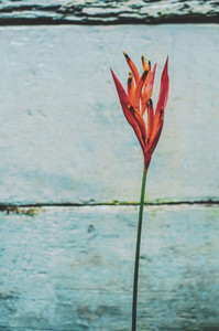 Red Flower Against Old Blue Wall