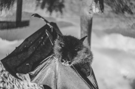 Giant fruit bat flying fox