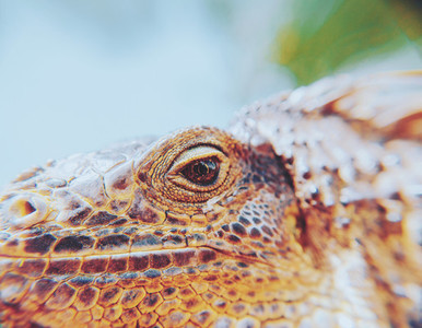 Closeup Portrait Of A Iguana