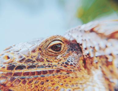 Closeup Portrait Of A Iguana