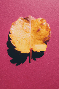 Fallen Yellow Leaf