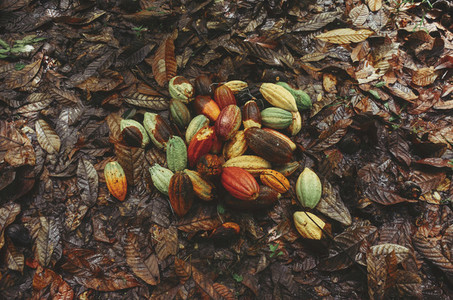 Cocoa bean fruit on the ground