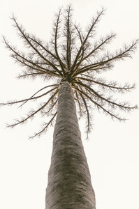 Leafless Tall Tree