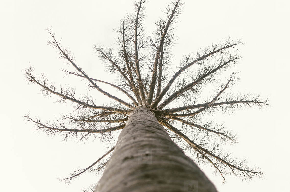 Leafless Tall Tree