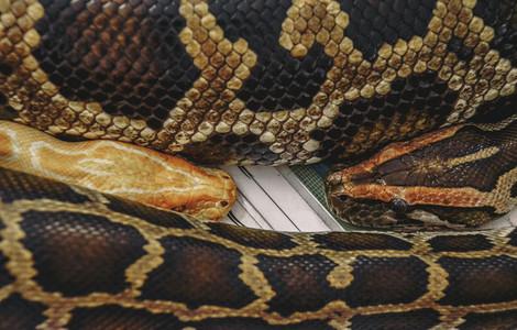 Two Pythons