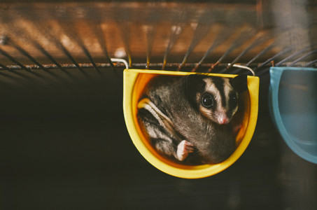 Adorable Sugar Glider Pet