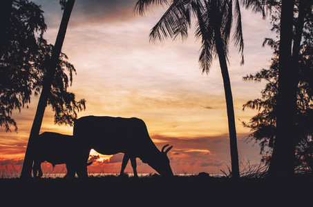Cattle Grazing During Sunset