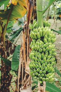 Bunch Of Green Bananas