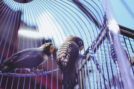 Two Blue Birds In A Cage