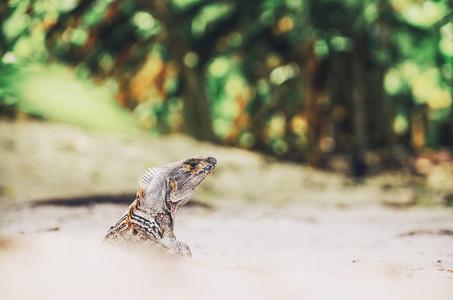Free Roaming Iguana