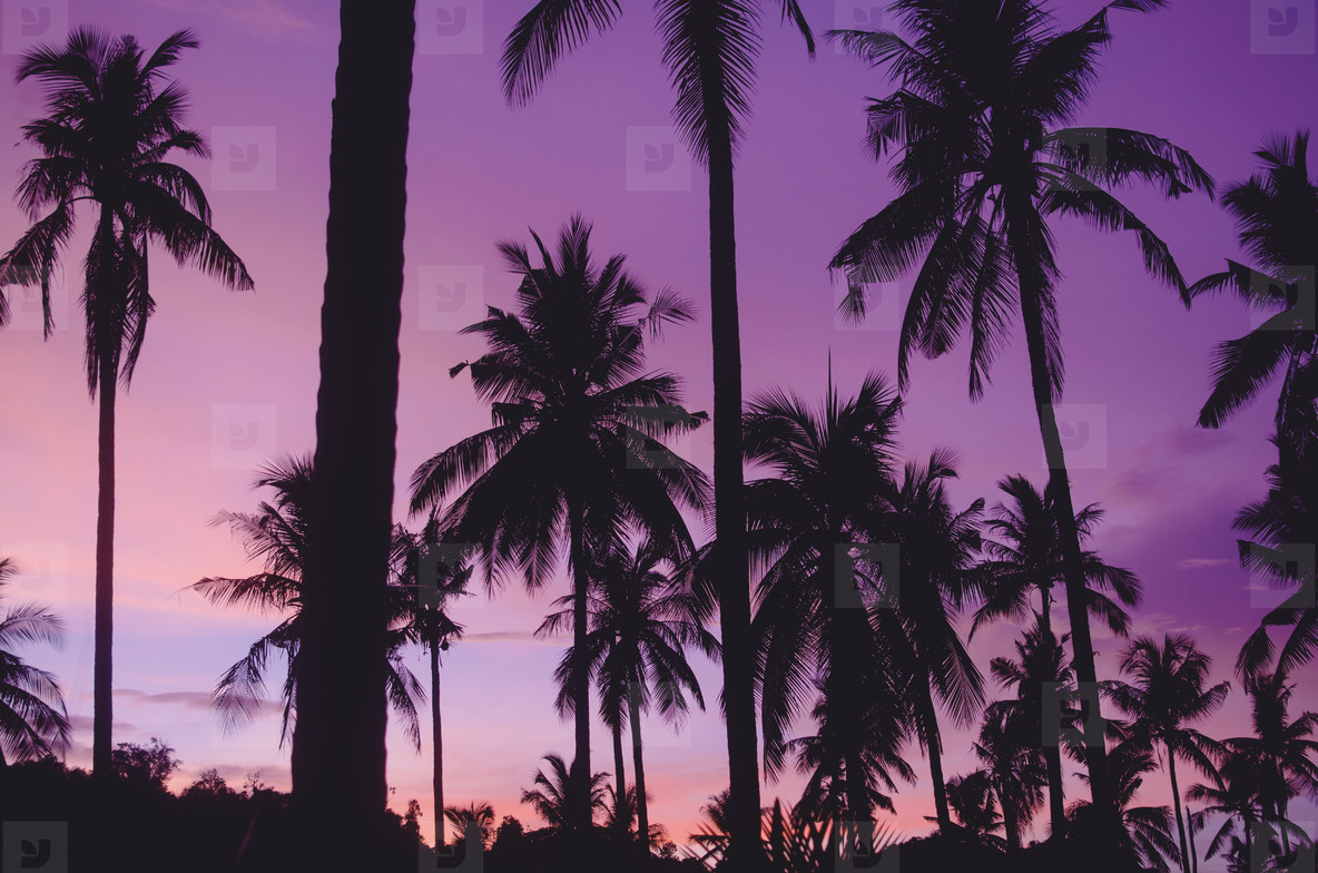 Summer Silhouetted Palm Trees