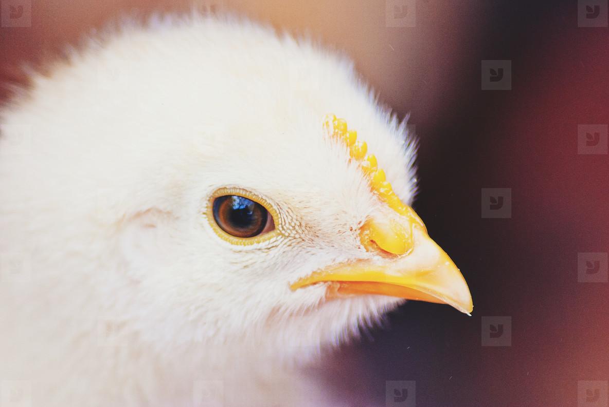 Baby Chicken Closeup