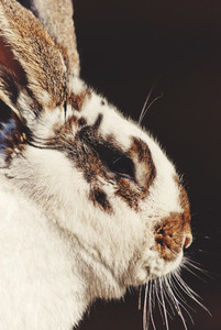 Big rabbit portrait