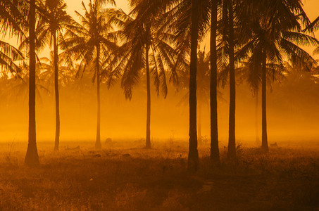 Palm Tree Field At Dawn