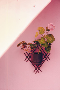Plant Hanging On A Pink Wall