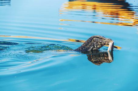 Giant monitor lizard swimming