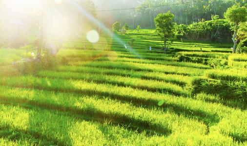 Beautiful green rice fields