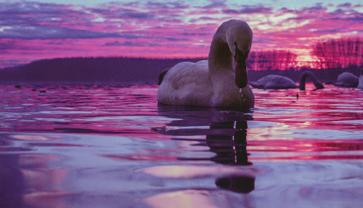 Beautiful swan swimming