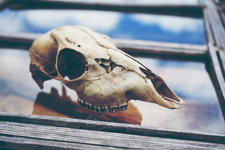 Animal skull over a window