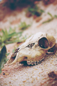 Animal skull in desert