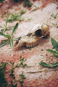 Animal skull in desert