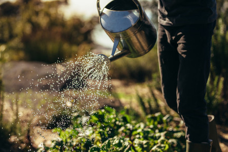 Man waters vegetables with sprinkling can on farm
