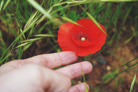 Hand touching a poppy