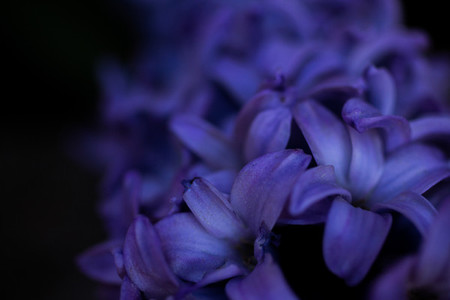 hyacinth macro for background