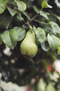 windfall bio pear
