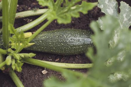 harvest fresh bio zucchini courgette