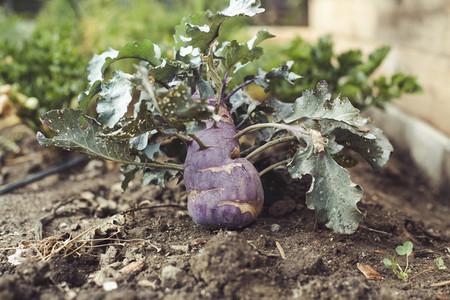 harvest fresh bio turnip cabbage