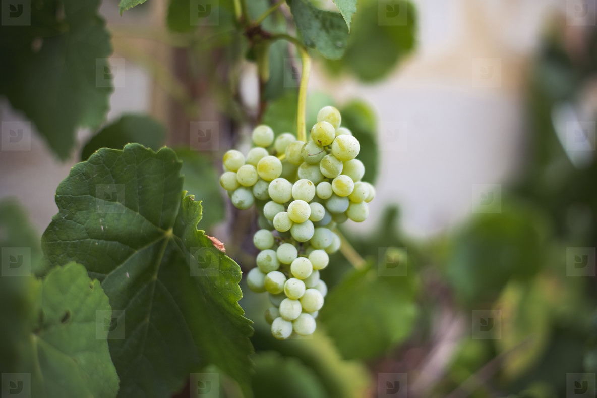 fresh bio Vineyard
