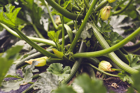 harvest fresh bio zucchini  courgette