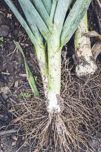 harvest fresh bio garden leek