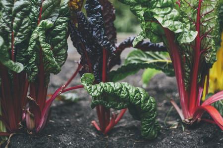 harvest fresh bio mangold