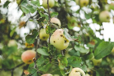 harvest fresh bio apple