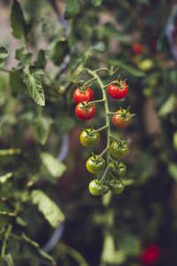 fresh home grown bio tomato