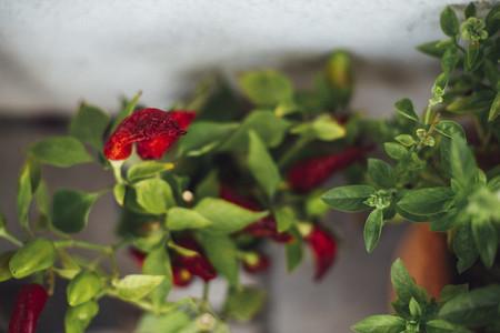 harvest fresh bio bell pepper