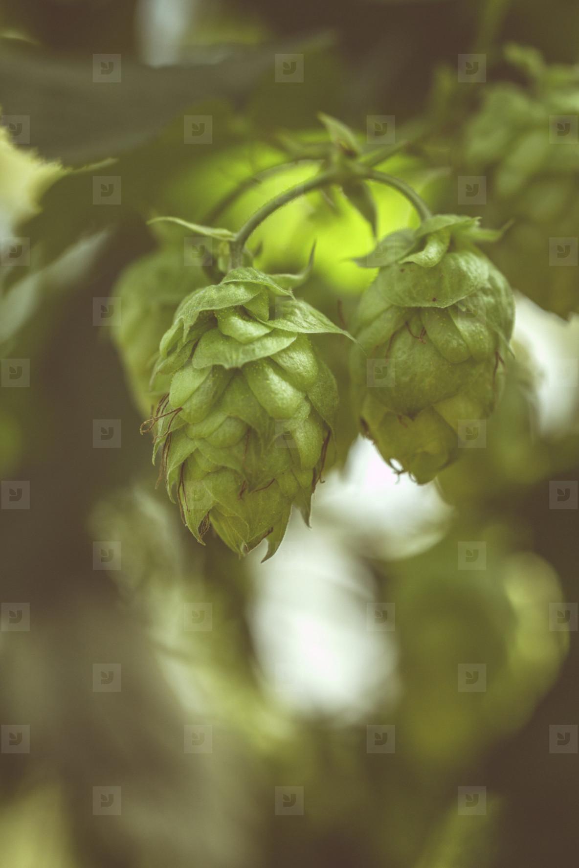 fresh bio hop