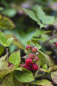fresh bio raspberry