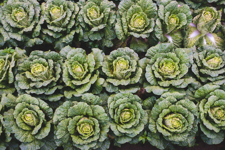 Yield of fresh green cabbage