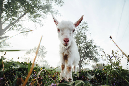 White baby goat stand on grass
