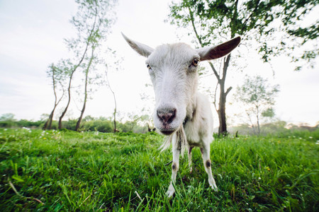 White goat on green grass