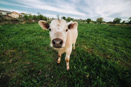 Baby cow on farmland
