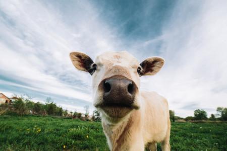 Baby cow on farmland