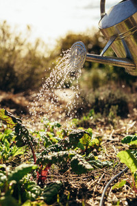 Watering vegetables with sprinkling can on farm