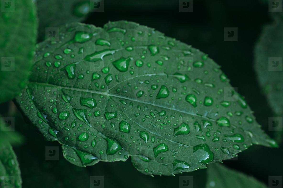raindrop plant
