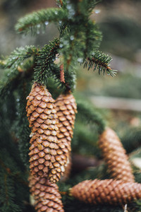pinecone macro forestry