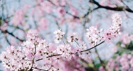 Lagerstroemia Bloom
